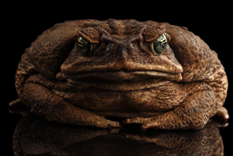 Impact Cane Toads.