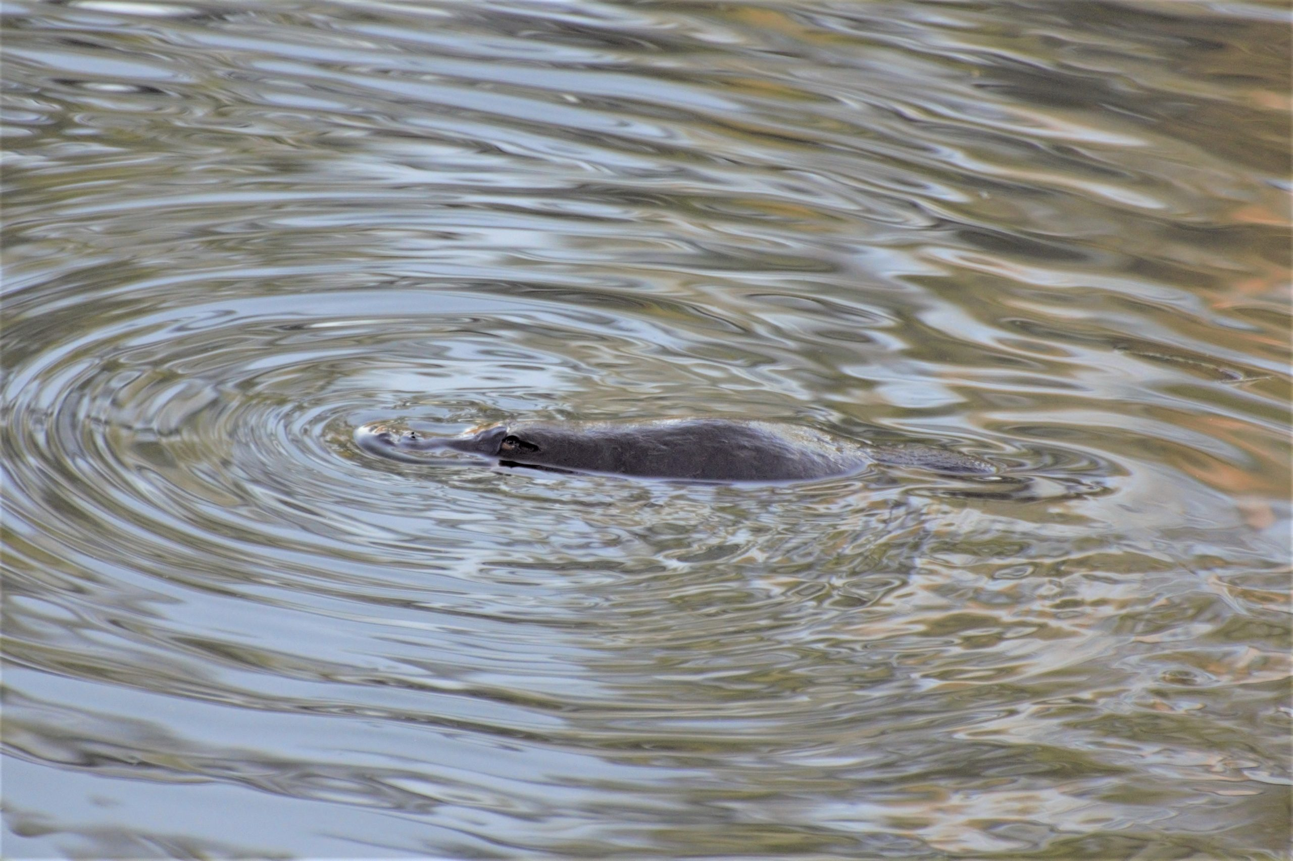 Have you spotted a platypus?