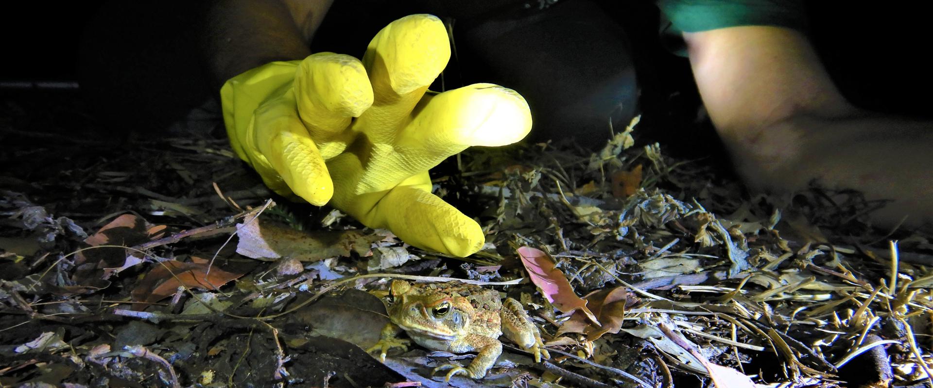 Impact Cane Toads Nationally